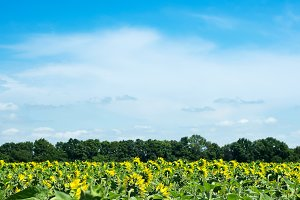 Big field of sunflowers on a blue