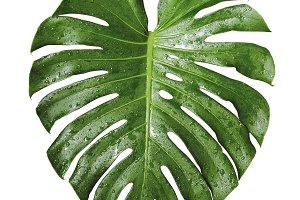 Monstera deliciosa tropical leaf and