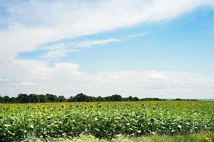 Sunflower field landscape with green