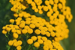 Tansy or tanacetum vulgare close-up