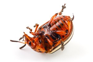 Colorado Potato Beetle lying on the