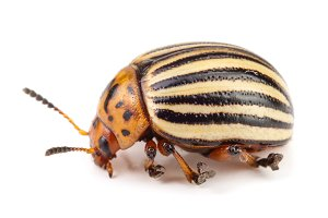 Colorado Potato Beetle isolated on