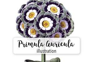 Florals: Vintage Primula Auricula