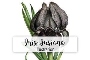 Florals: Vintage Iris Susiana