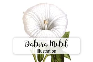 Florals: Vintage Datura Metel