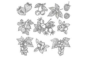Sketches of garden and wild berries