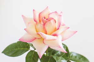 Stock Photo - Pink Rose I