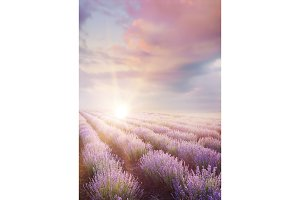 The Lavender field.