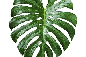 Monstera deliciosa with water drop