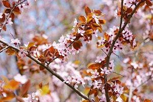 Spring cherry plum blossom