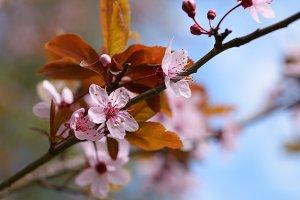 Cherry plum blossom closeup