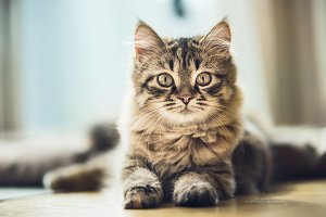 Siberian kitten with a beautiful fur