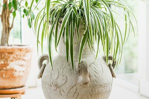 Spider plant in terracotta amphora
