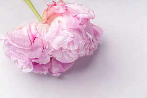 Close up image of peony flower
