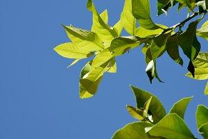 Green branches of lemon tree