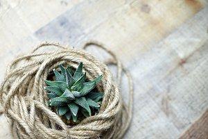 Aloe Aristata Haworthia Succulent Pl