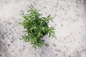 Italian rosemary in a pot, top view