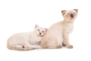 Two lying purebred kittens