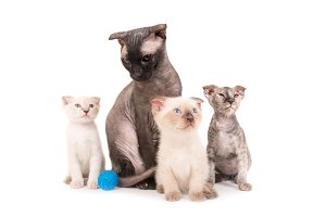Black purebred sphinx cat with three