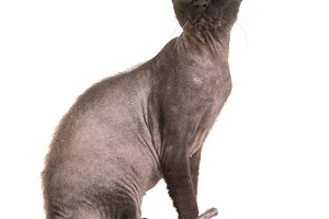 Black purebred sphinx cat