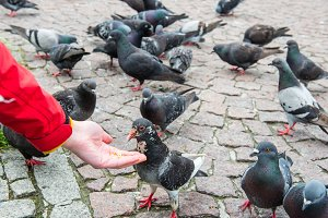 Many pigeons feeding from a hand
