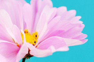 Pink Flower on Teal Background