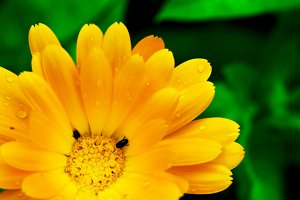 Yellow gerbera flower with tiny bugs