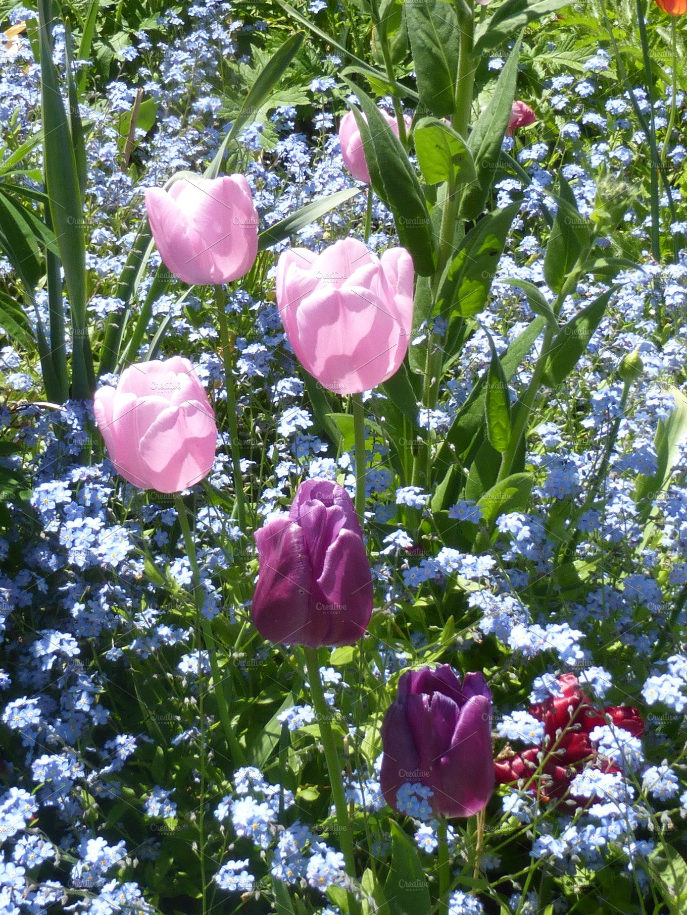Tulips and forget me not flowers nature photos creative market mightylinksfo
