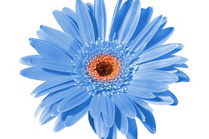 Blue flower gerbera