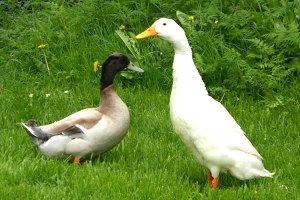 A pair of ducks two ducks
