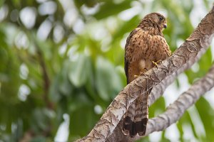 Kestrel in natural environment.