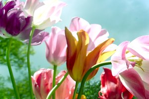 Flower pink and purple tulips