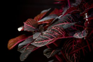 Red coleus low key