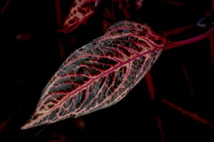 Coleus red dark leaf