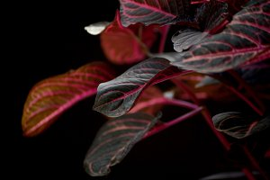Red coleus in low key