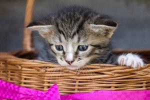 A small gray kitten