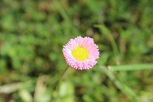 Little Pink Daisy