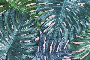 Monstera deliciosa Tropical leaves