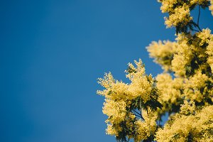 Yellow blooming of mimosa tree in sp
