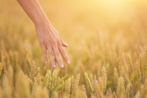 Female hand touching a golden wheat