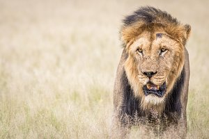 Big male Lion starring at the camera