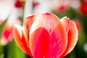Red tulips on a soft floral backgrou
