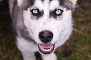 siberian husky puppy cloe up photo