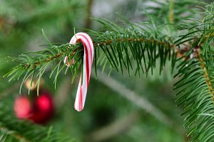 Real Christmas tree with candy cane