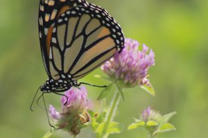 Monarch Butterfly and Red Clover