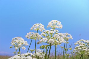 Wild flowers, white flowers
