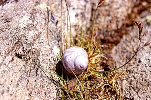 Sea Snail on a rock at Sea Front