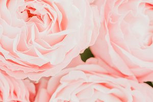 Pink roses macro background