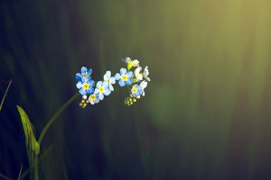 Lonely forget-me-not