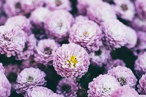 Chrysanthemum macro flowers